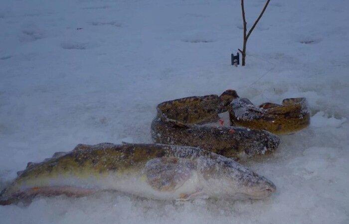 Самая лучшая снасть для ловли налима в зимнее время года