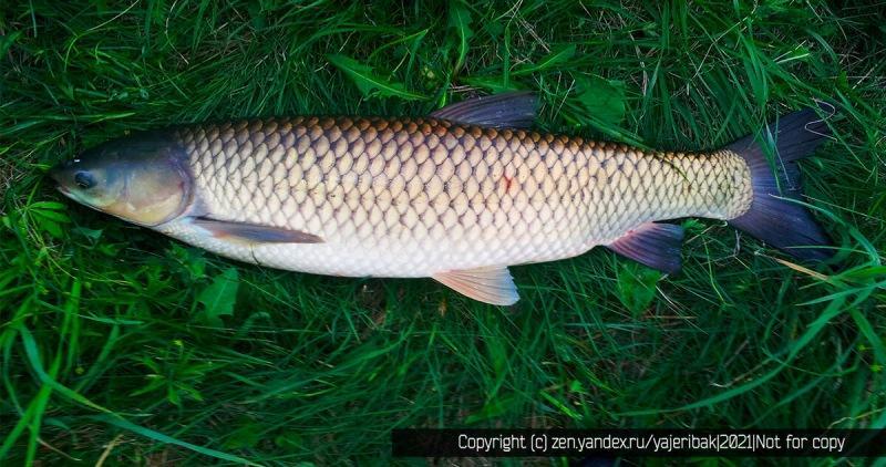В наших водоёмах есть две речные рыбы, которые их чистят, а рыболовы их стремительно вылавливают
