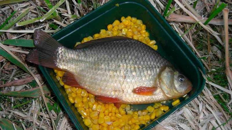 Почему некоторые рыболовы не могут поймать рыбу на кукурузу.Знакомый дед научил, как улучшить ее.