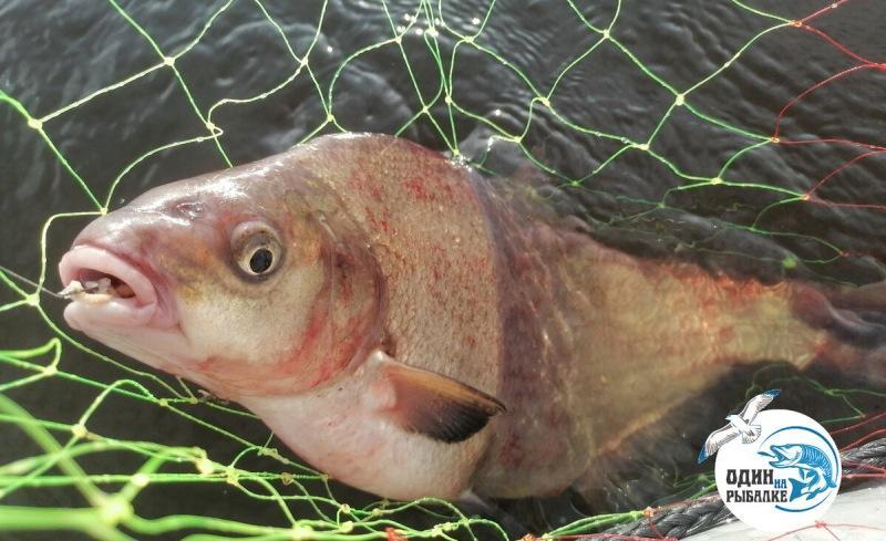 Катанка - лучшая насадка для осторожной, капризной рыбы! Секрет от незнакомого рыболова