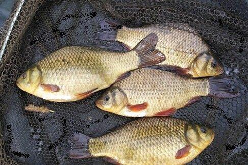 Рыбалка на карася, когда клюёт, на что клюёт