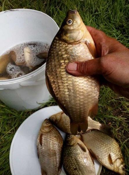 Как караси обманывают рыболовов. Подскажу, как не попасться на уловки хитрой рыбы