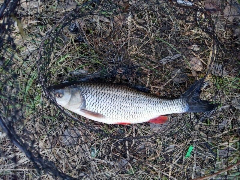 Как поймать крупного голавля? Весенняя рыбалка со дна