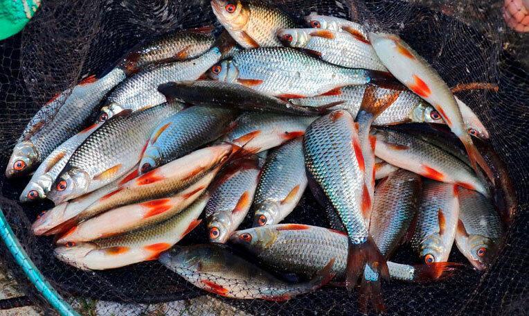 Ловля плотвы на реках в летний период