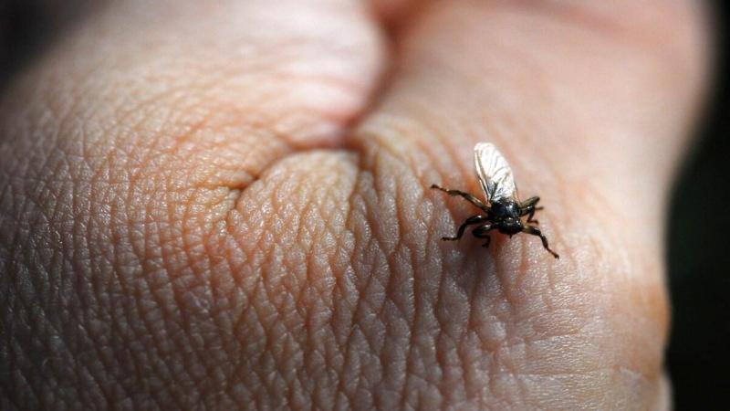Оленья кровососка - очередной лесной паразит, что мешает нам жить. Опасна ли она для человека?