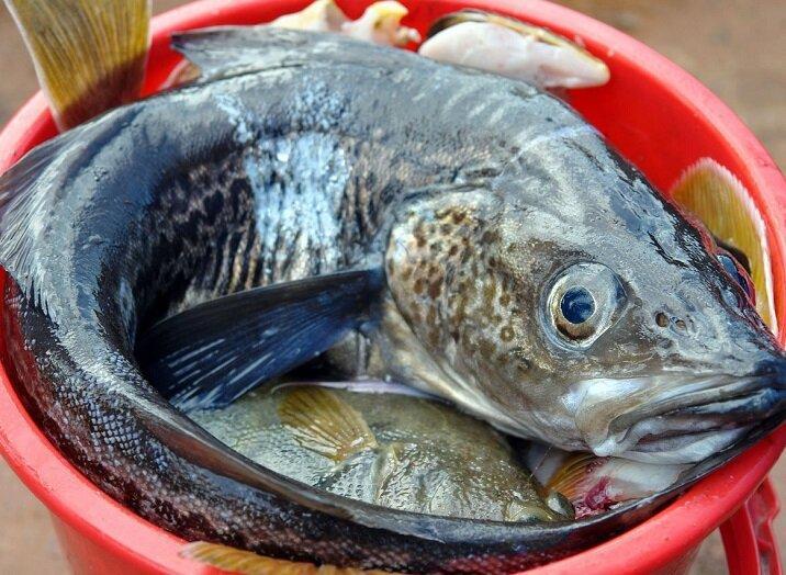 Три вида речных рыб, о вкусовых качествах которых частенько спорят рыболовы