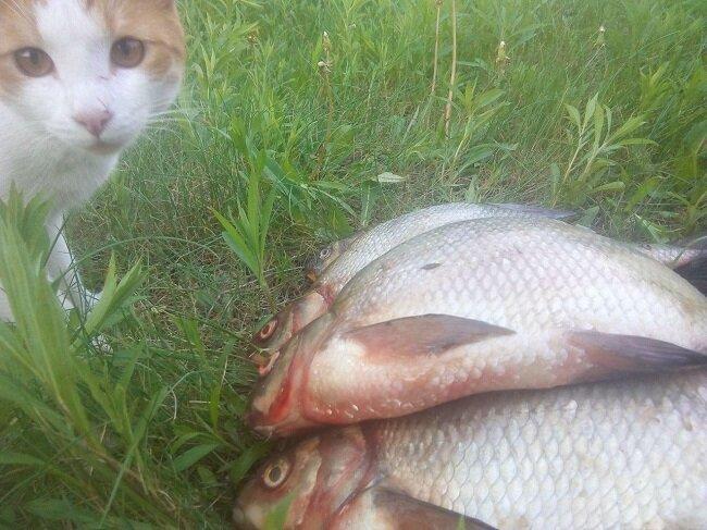 Кис-кис, рыбка. Ловля карася и карпа на кошачий корм