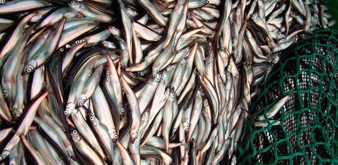 """Копеечная рыба для кошек из """"Совка"""" уже по цене промысловых"""